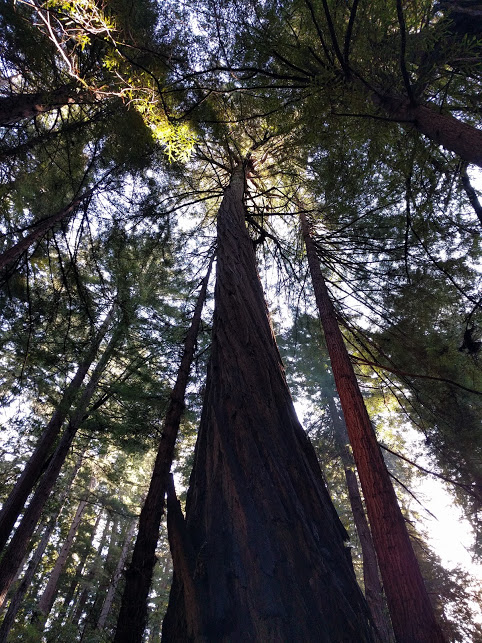 maestose sequoie a Muir Woods