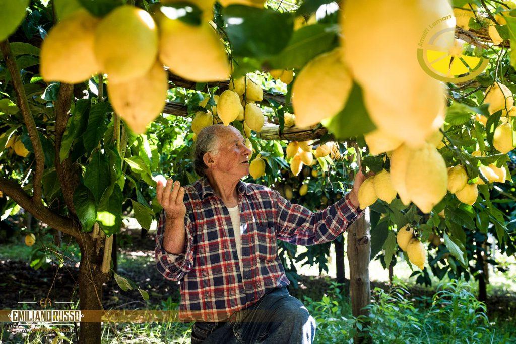 Luigi Aceto tra i limoni amalfitani nei terrazzamenti nei pressi della Valle delle Ferriere di Amalfi