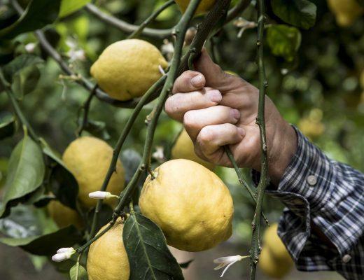 Tour dei limoni ad Amalfi