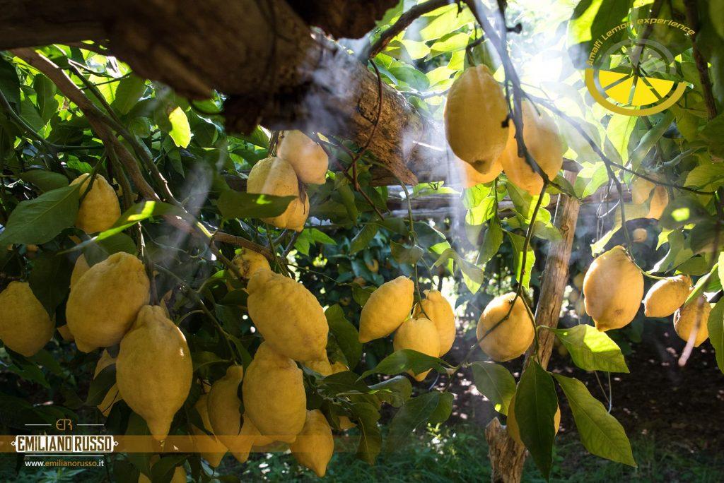 Pergolato con limoni amalfitani gialli dalla forma allungata