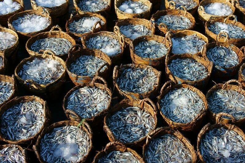 Alici fresche per la produzione della famosa colatura di Cetara.